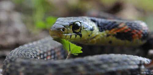 ヤマカガシ ヤマカガシの繁殖まとめ。交尾や産卵の時期、幼ヘビは?