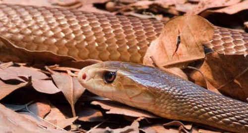 毒蛇インランドタイパン/強い神経毒をもつ